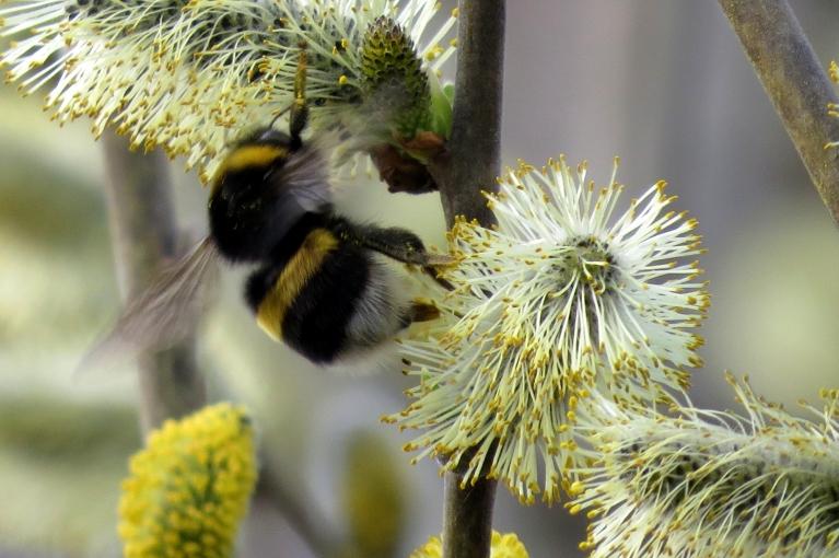 Ziedošais kārklu krūms dun no kameņu un bišu pārbagātības.