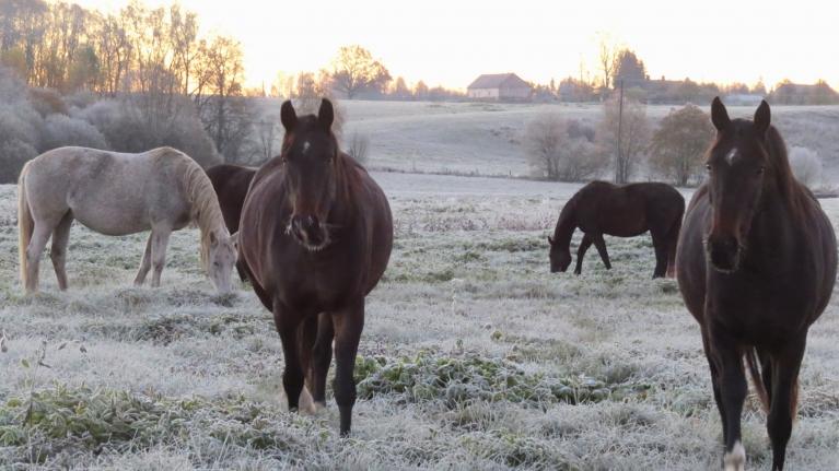 18. oktobra rītu zirgi pieguļā sagaida ar -6 grādu saliņu.