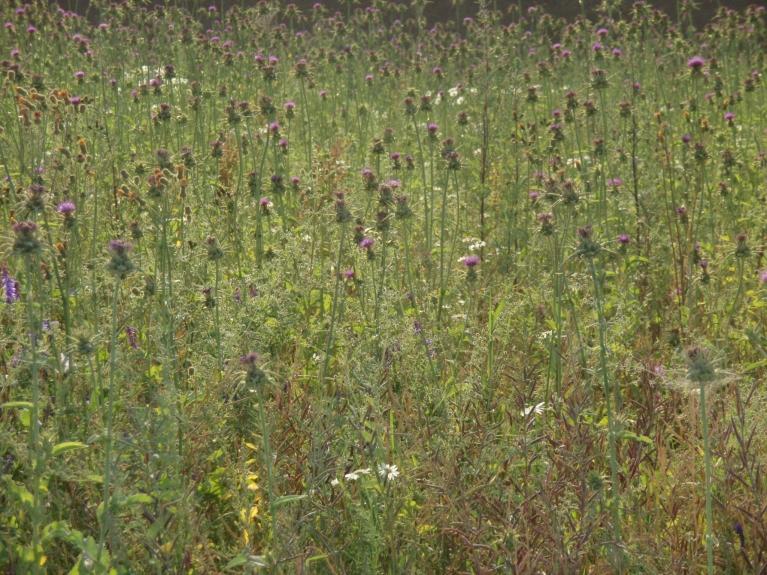 Sapricājos ka Latvijā audzē mārdadžus eļļai .........izrādījās tuvumā -rapša lauks:)!
