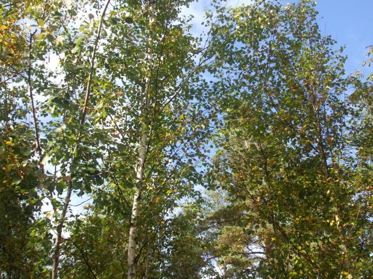 Daudz koku, kam dzeltenuma vēl maz