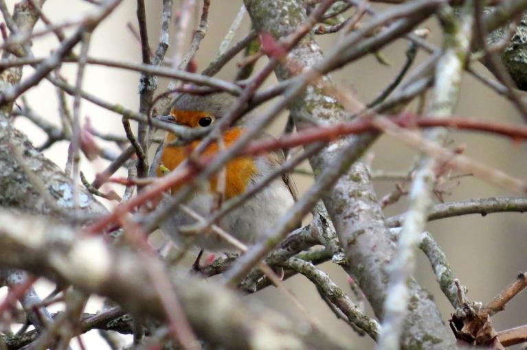Aroniju krūmā no manis slēpjas putniņš ar oranžu krūtežu.