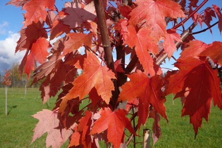12.oktobris Siguldas apkārtnē. Saule košās rudens krāsas īpaši paspilgtina