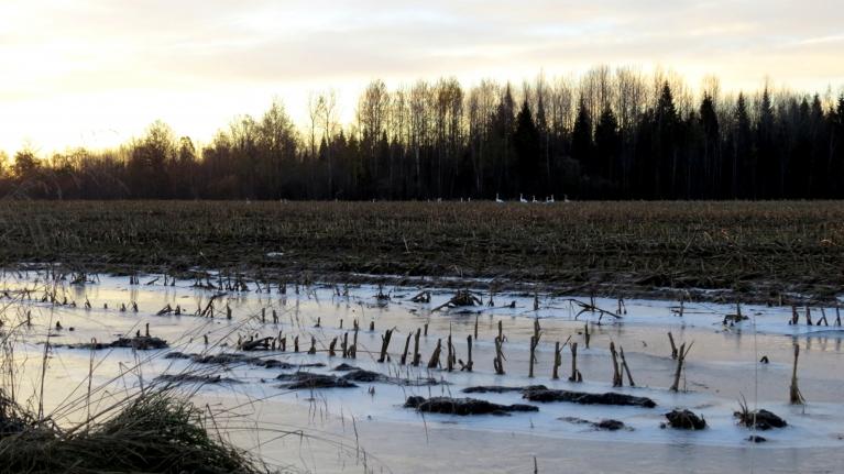 Novāktajā kukurūzas laukā jau vairākas diennaktis nakšņo ~ 15 putnu kupls gulbju bariņš.