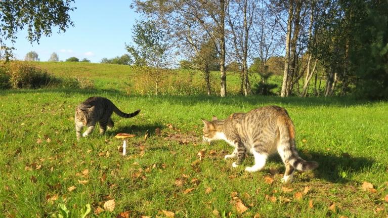 Ja Gubumākonim pastaigās līdzi dodas suns, tad mani pavada divi kaķi. Katra jaunā sēne dārza malā ir jāaposta...:)