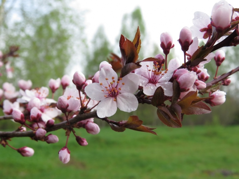 Plūmītes zied dažādās krāsās