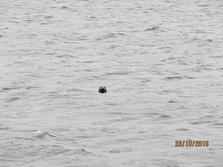 Daugavgrīvas ronis