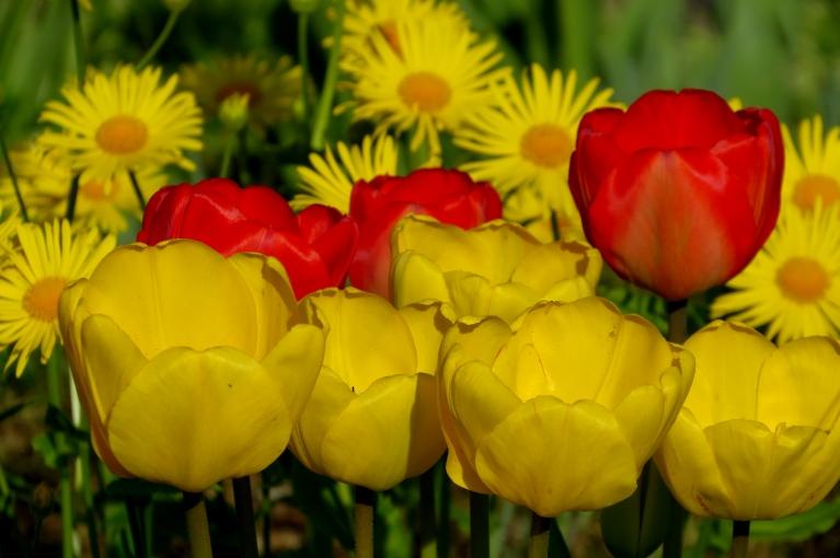 Visos dārzos zied tulpes- viena par otru krāšņākas.