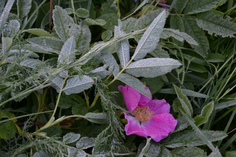 10. jūnija rītā pļavās starp Imantu un Zolitūdi ieraugu vasaras salnu, kas apdraud tikko uzziedējušās mežrozītes.