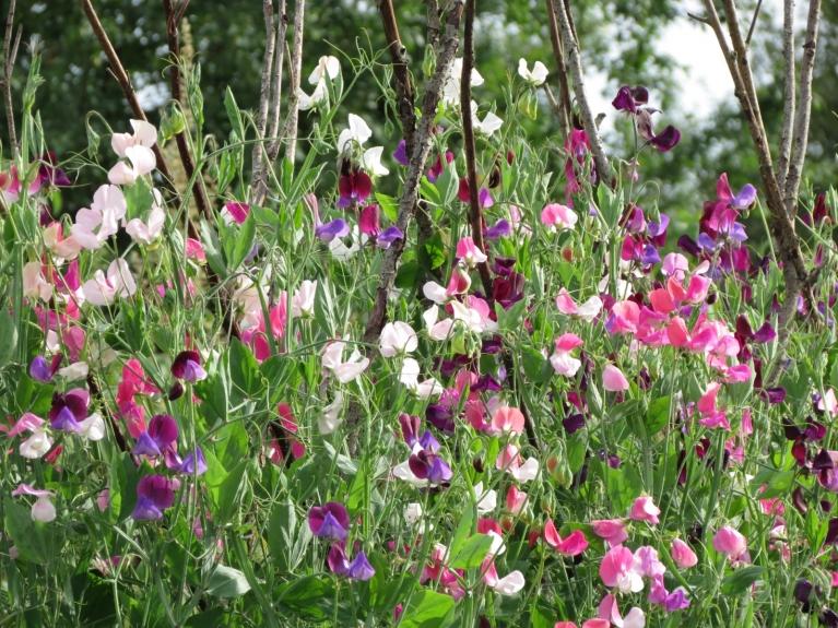 Saulainajās dienās turpinājām priecāties par dažādajiem vasaras ziediem, ...