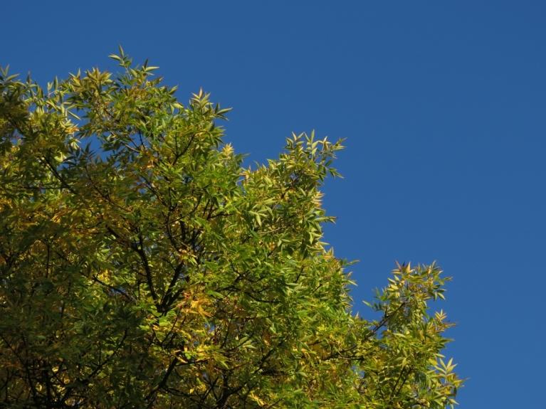 Saulainajās dienās pamazām sāka izcelties koku lapu krāsu maiņa (1.09.)