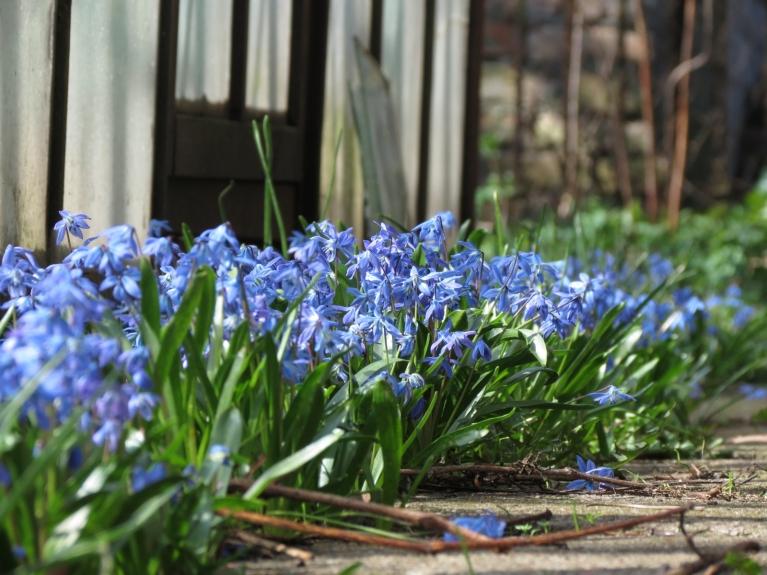 Krāsu pārpilnība atrodama arī dārzā. Ārpus žoga jau zied pienenes. Lai visiem koša jaunā darba nedēļa!