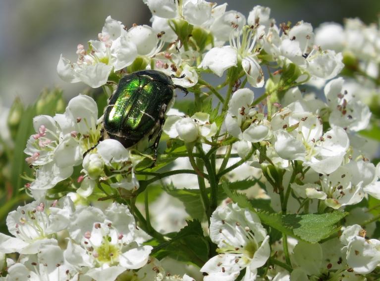 Bagātīgi zied vilkābeles, rožvabolēm tās ļoti patīk.
