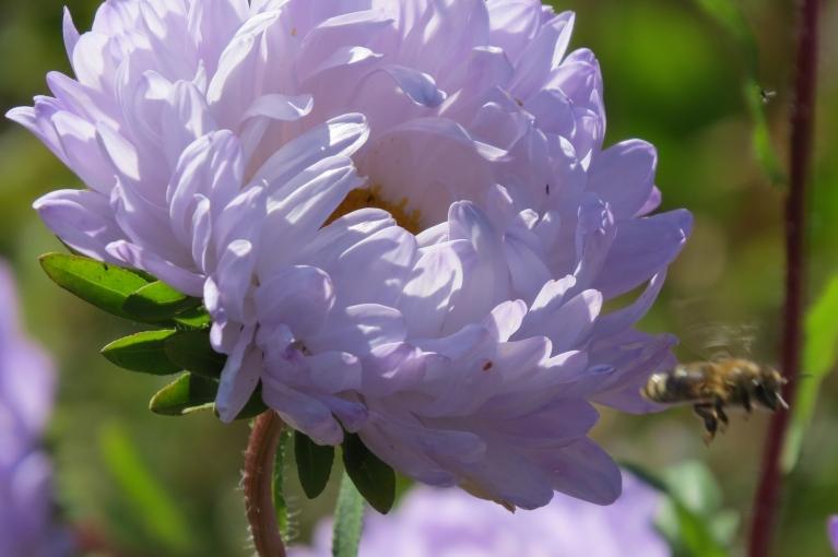 Bet dienas vēl siltas - bites cītīgi apmeklē  puķu dārzu.