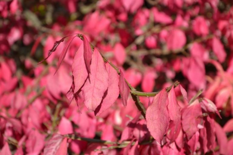 Šādu krūmu redzu pirmo reizi - ar rozā lapām (nekāda fotošopa!)...