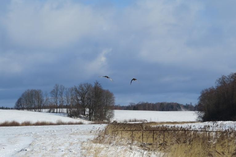 Manis iztraucētas spārnos paceļas 2 pīles, kas klusi peldējušās Tumšupītē.