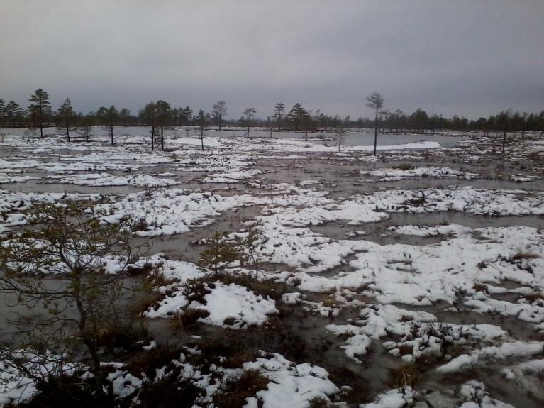 13. februārī  Saklaura purvā daži cm sniega.