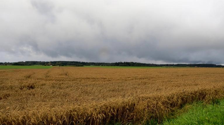 Lietus apstādinājis labības novākšanu.