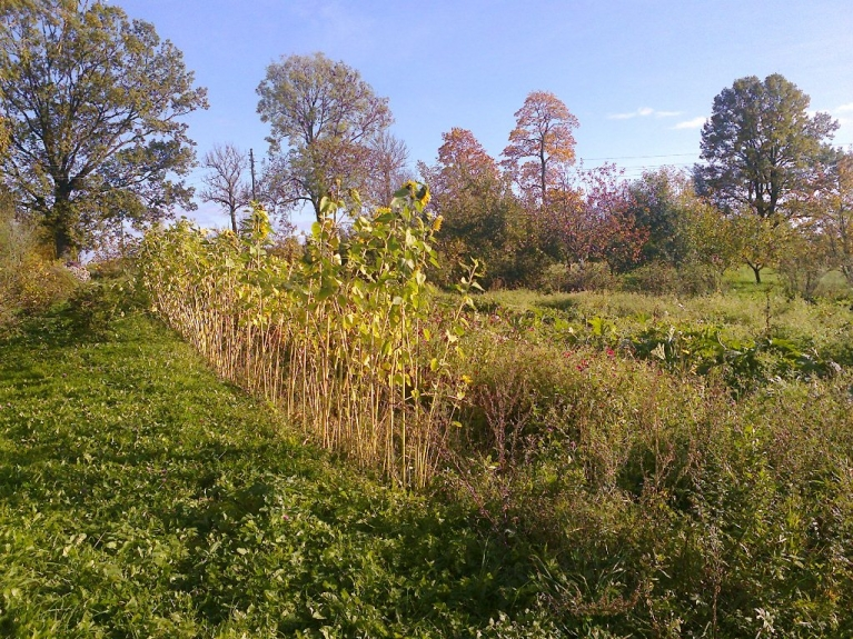 Autors: Emilis. Tipiskas rudens ainiņas no Rankas puses 1. un 2. oktobrī. Saulespuķes (daļa ziedu vēl palikuši, pārejie nogriezti)