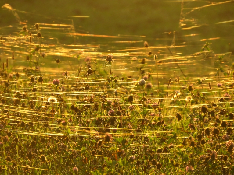 Saulrietā zirnekļu tīmekļi sķiet zelta diegiem austi.
