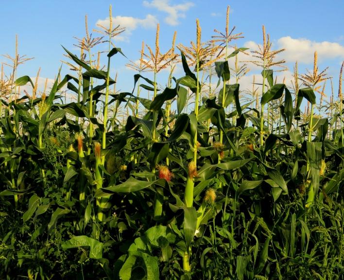 """25. augusts- atkal daudzviet krīt karstuma rekordi. Beidzot kukurūza izstiepusies """"pieklājigā"""" garumā, meža cūkas sākušas nakts sirojumus, lai panašķētos ar gardajām vālītēm."""