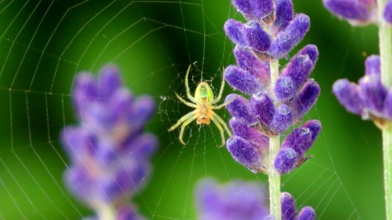 Starp lavandas ziediņiem zirneklītis izaudis tīklu, ziņojot, ka saulainais laiks pieturēsies.