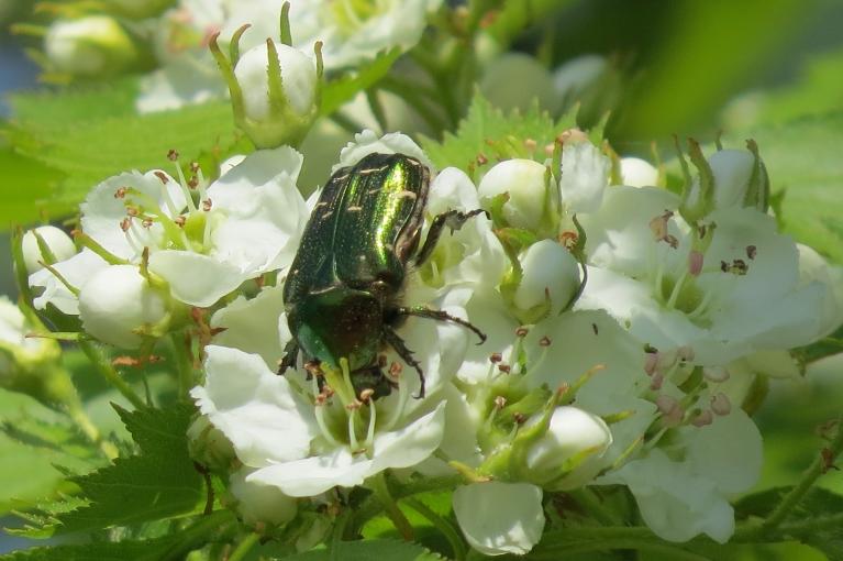 Rožvaboļu rosīšanās man atgādina ziedputekšņu vākšanu. Vai kāds zina, ko viņas īsti ziedos meklē?