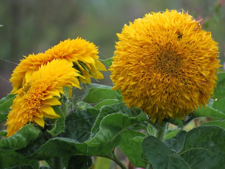 Dārzā joprojām krāšņi zied puķes.