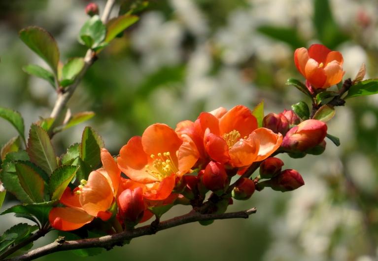 Dārzā zied cidoniju krūmi.