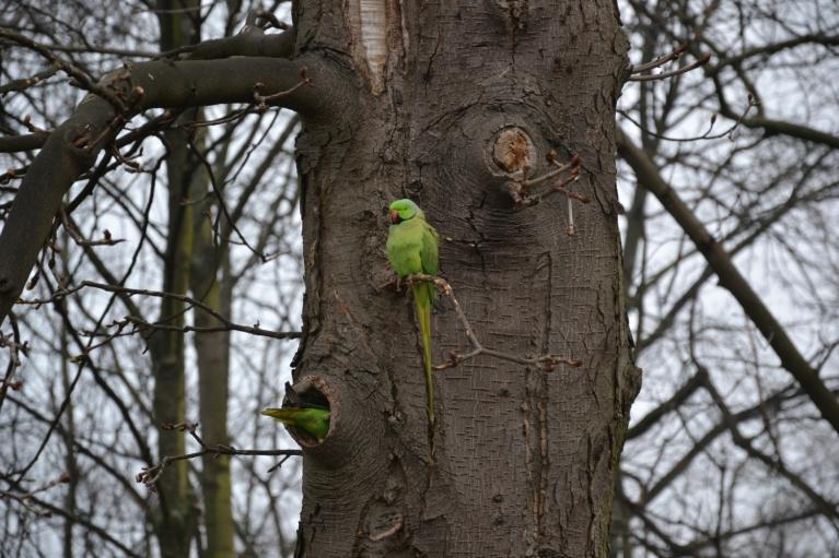 Turpat netālu aptumsumu vēro arī trokšņainie papagaiļi, kas nav reti Briseles parku iemītnieki. Netālu aug arī palmas - var sajusties gandrīz kā dienvidos...