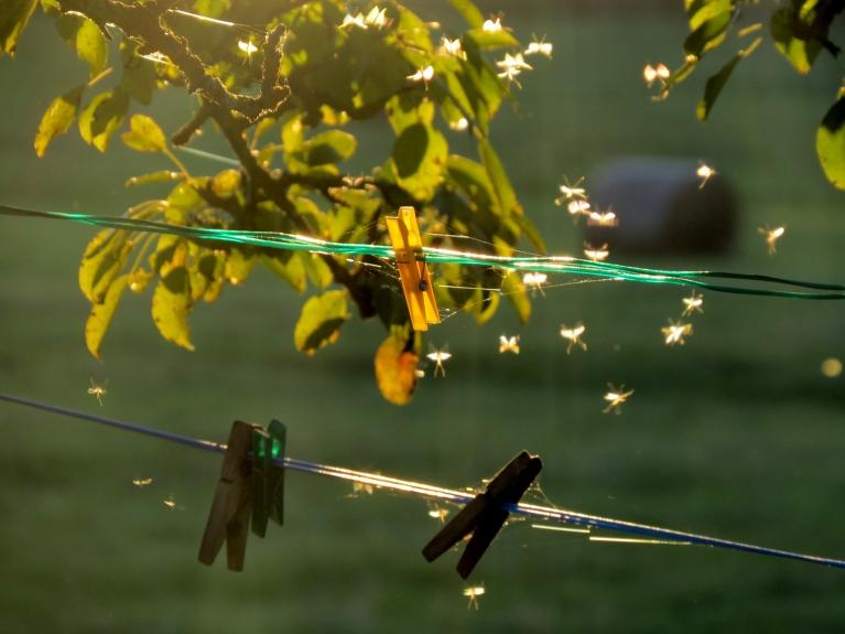 6. oktobra vakarā mušiņas un odi turpina spietot uz nebēdu.