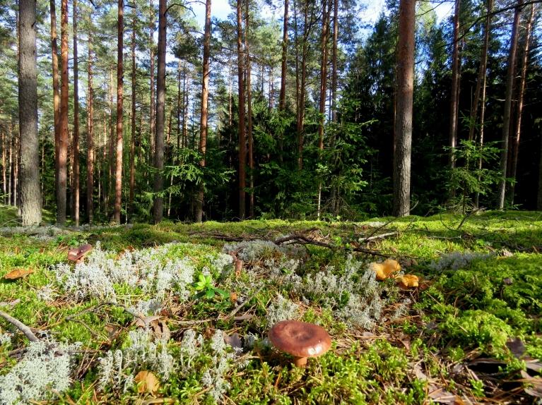 Piektdienas pēcpusdienā vēl aizstaigāju līdz mežam, bet sēņu tikpat kā nav, tās nedaudzās, kas palikušas -tā, sava prieka pēc - nelielai mērcītei.