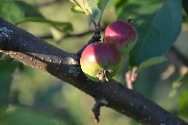 Mežābelei jau sārtojas ābolīši (Ilūkstes novads)