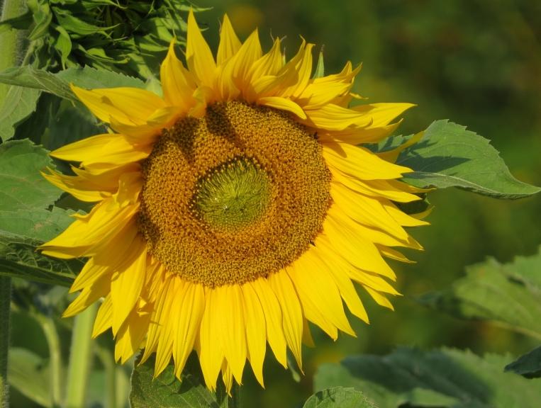 Mākoņi ātri izklist, saulē raugās saulespuķes, kas šogad uzziedējušas vēlu- pašā  augusta nogalē.