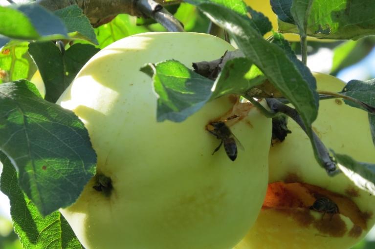 """Nu tad uz dārzu - lasīt ābolus. Bet ābolos jau priekšā """"ciemiņi""""."""