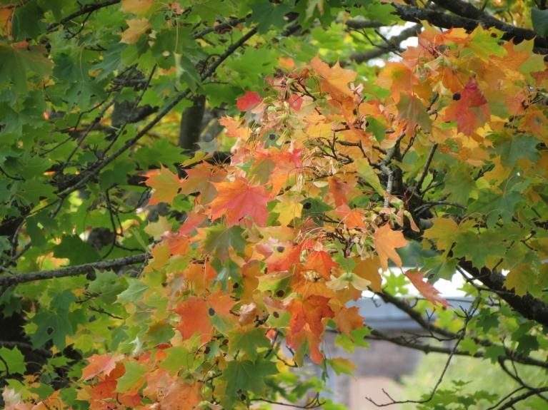 Aī kļavu lapas pirms vēja vēl savās vietās, priecējot pilsētniekus un viesus