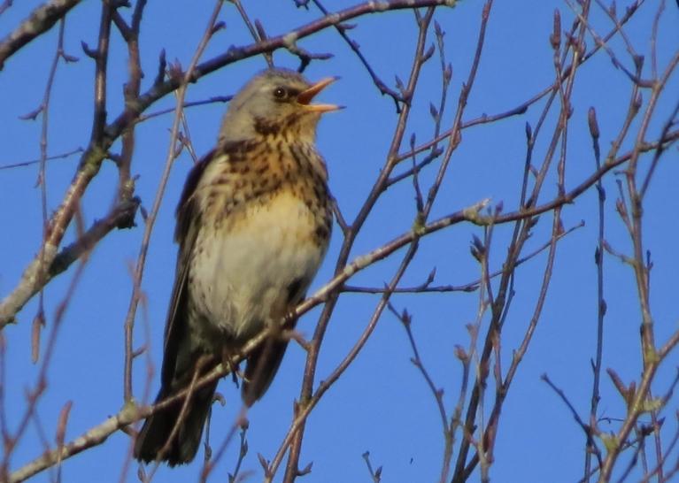 Koku galotnēs - skaļa putnu dziedāšana.