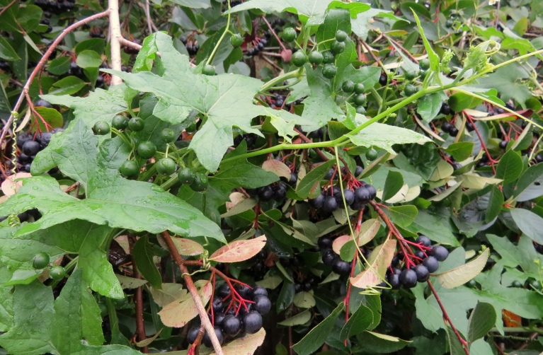 Jautājums mūsu augu pazinējiem- kas ir zaļais vīteņaugs, kas ieaudzis aroniju krūmā? Ziediņi dzeltenā krāsā (nedaudz atgādina tomātu ziediņus, tikai sīkāki), ogas, kad nogatavojas, maskējas par aronijām.