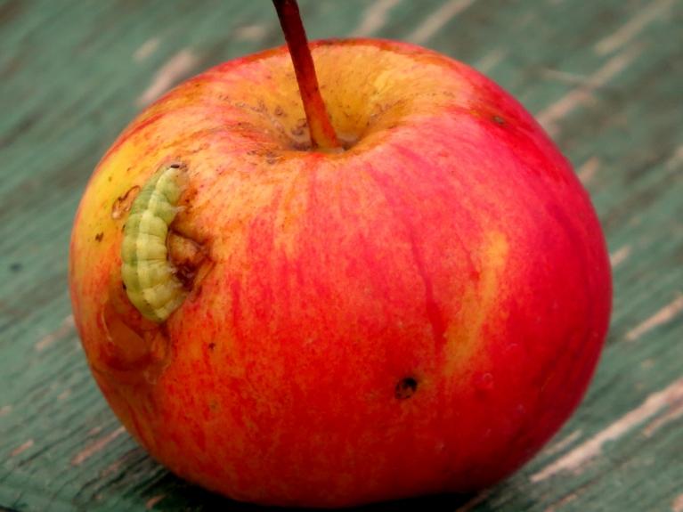 Vējš  nokratījis arī pēdējos ābolus, izrādās, šis kādam bijusi mājiņa :).