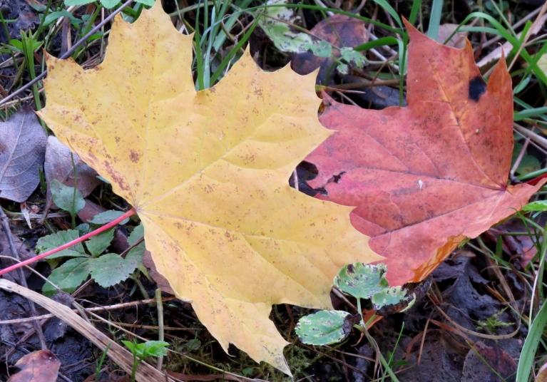 Pēc salnām intensīvāk sākušas krāsoties lapas.