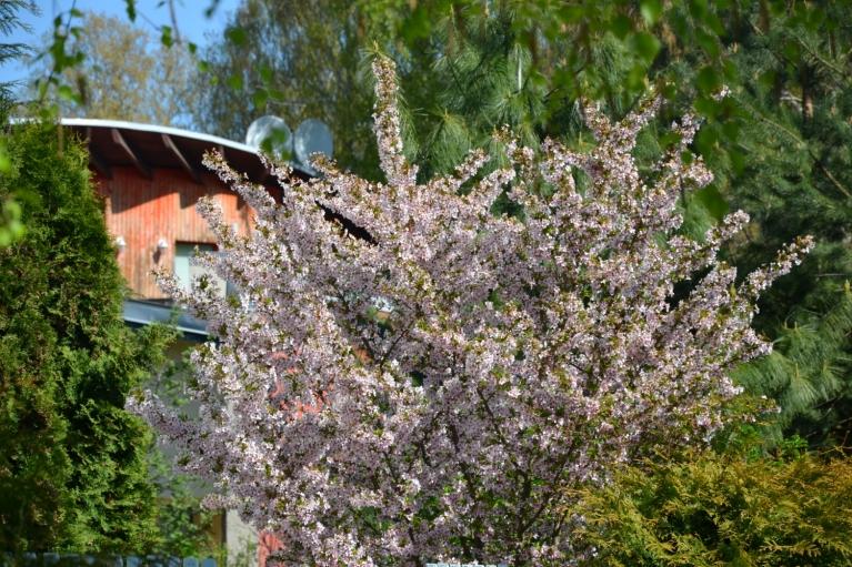 Sakura kādā dārzā.