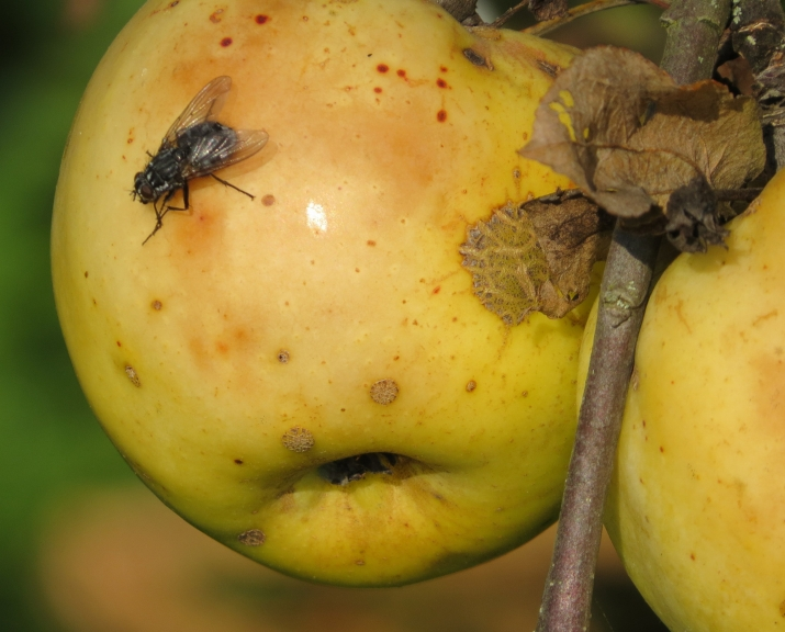 Saulei siltāk uzspīdot, no pažobelēm izlien lidojošie kukaiņi, mušas ieskaitot.