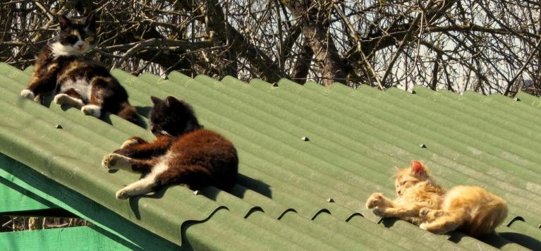 Dārzkopības sabiedrības teritorijā kaķi atklājuši sauļošanās sezonu.