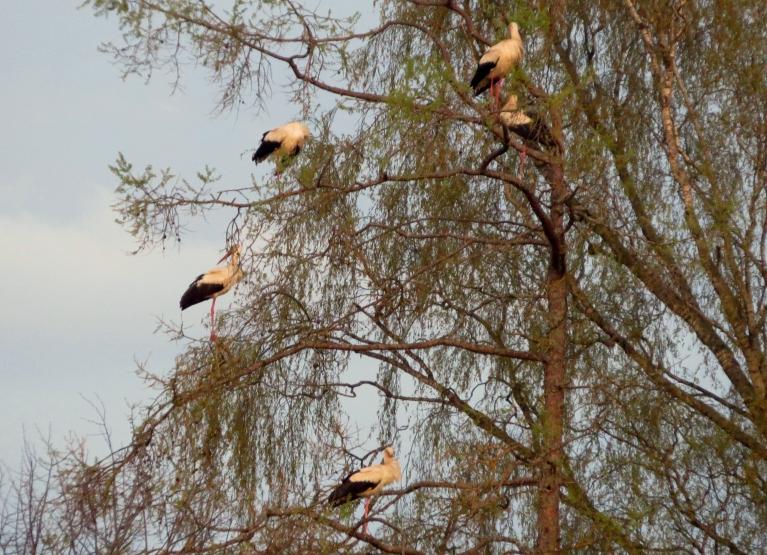 Nakšnošanai tie ir izraudzījušies lielos kokus.