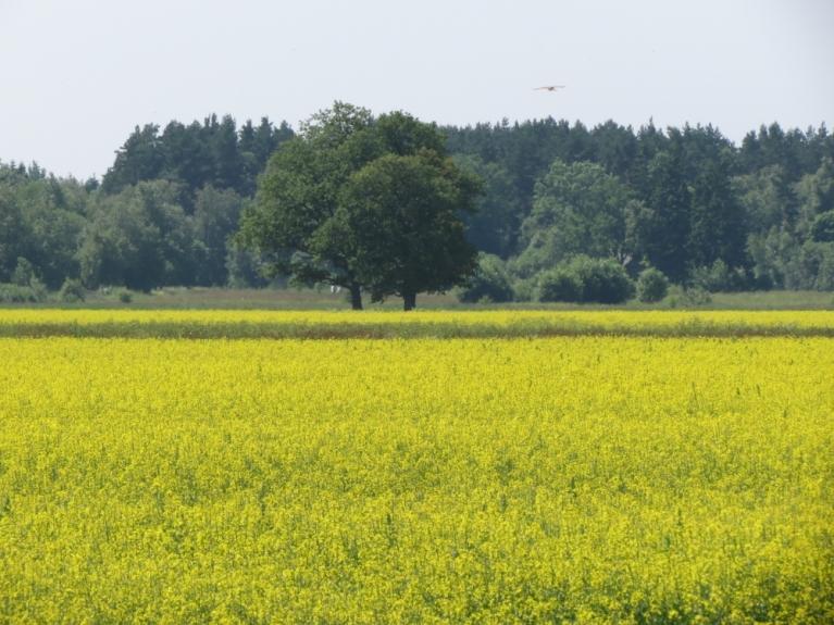 Acis priecēja dzelteno ziedu pielietie lauki...
