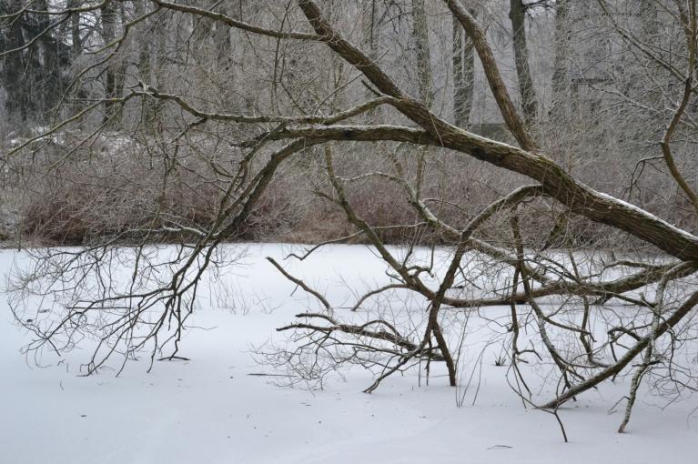 Tikmēr dīķis jau aizsalis ar vismaz tik biezu ledus kārtu, lai pa to varētu pāriet pāri un neielūst.