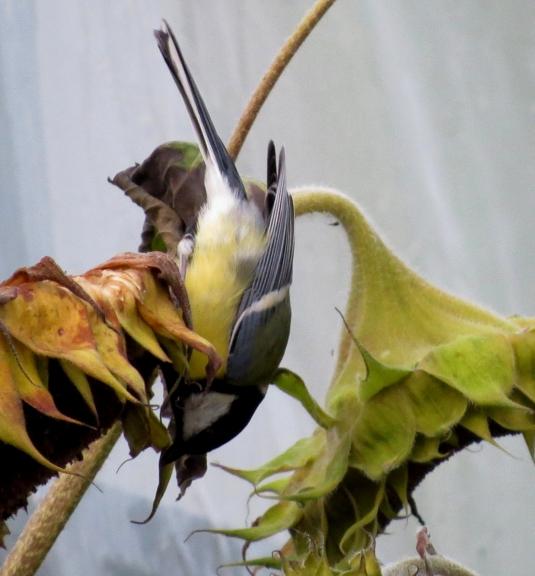 Zīlītes pie saulespuķēm demonstrē akrobātikas elementus.