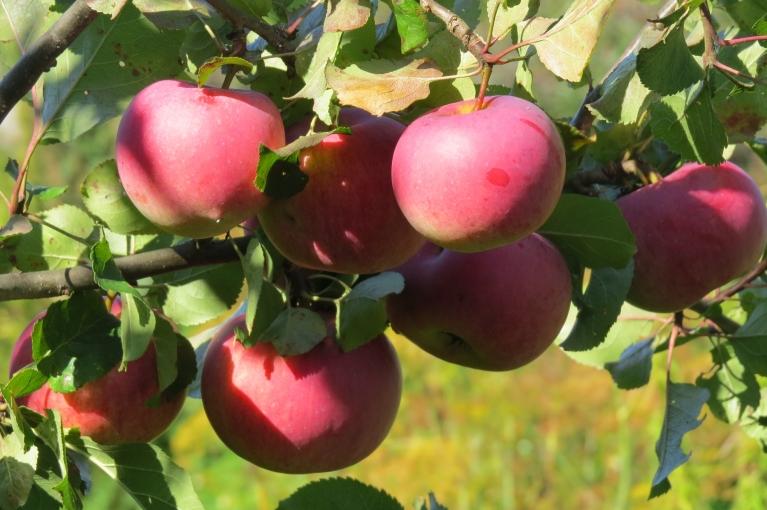 """Šo gadu varēšu """"ierakstīt vēsturē"""" kā lielās ābolu ražas gadu."""