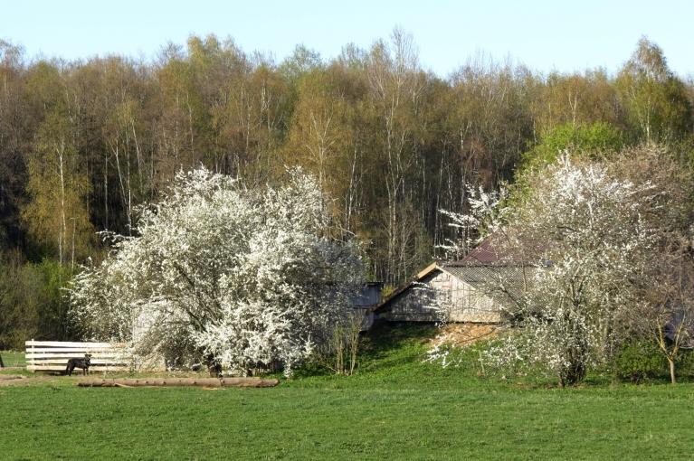 Nobažijušies ir tie, kuru dārzos krāšņi zied  augļu kociņi.