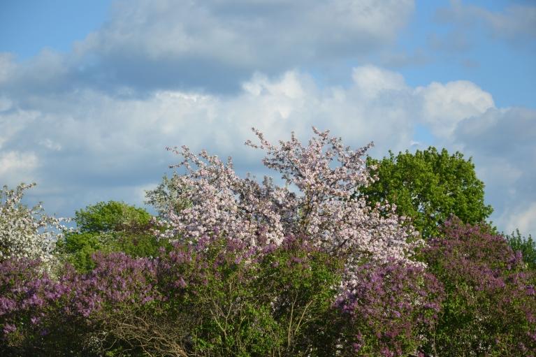 Atpakaļceļā Skrundā sastopu ainavu ar ziedošiem ceriņiem un ābelēm.