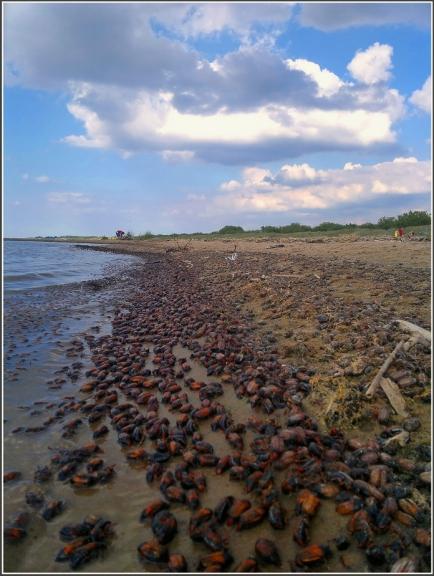 Piekrastē ir tūkstošiem izskalotu beigtu māijvaboļu,nez kapec ta ir noticis? Cik noprotu vairāk vai mazāk tādas vaboles atrodamas gar visu jūras/līča piektasti...